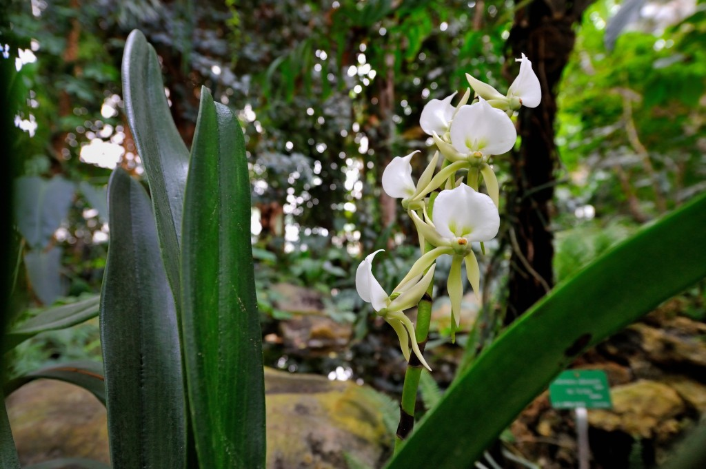 PHOTO Angræcum madagascar © F-G Grandin MNHN