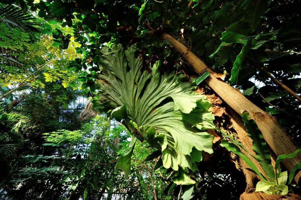 PHOTO Platycerium wandae 8348 © F-G Grandin MNHN