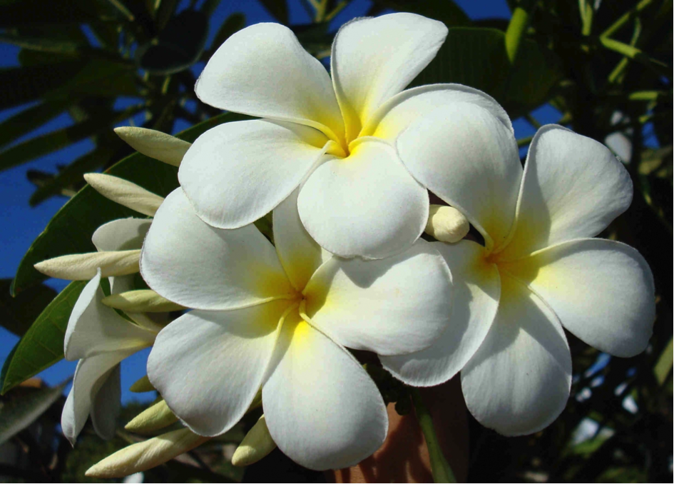 fleurs tahiti