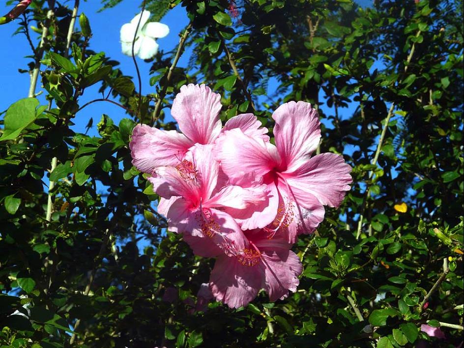 le jardin tropical de Moorea 2
